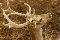 Antler deer. Close up The antler deer Stock Photo
