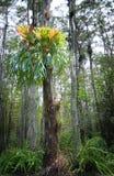 Antler fern in cypress Royalty Free Stock Image