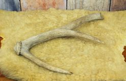 Antler on the fleece. Deer antler laid on the sheep fleece royalty free stock image