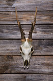 Antler or horn on wooden background. Hunting trophy. Royalty Free Stock Images