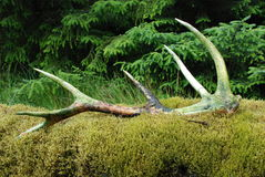 Antler. Red deer antler on a mossy wall royalty free stock photos