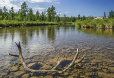Antler in the river. Landscape with river, forest and antler Stock Images