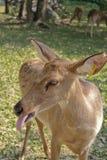 Antlered олень вставляет язык вне Стоковые Изображения