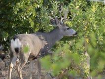 Antlered Buck Browsing på trädsidor Royaltyfria Bilder