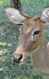 Antlered Deer royalty free stock image