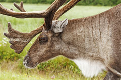 Antlered Royalty Free Stock Image