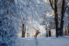 Antlered röd hjort är en skogglänta Arkivbild