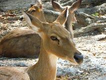 Antlered rogacz w Khao Khaeo Otwartym zoo Obrazy Royalty Free