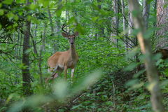 Antlered Whitetail Deer in Velvet Royalty Free Stock Photography