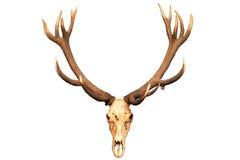 Antlers и череп изолированные на белой предпосылке Стоковые Изображения