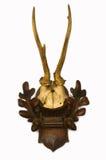 Antlers оленей косуль Стоковые Фотографии RF