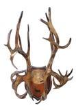 Antlers северного оленя (tarandus Rangifer) Стоковые Фотографии RF