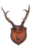 Antlers сибирского оленя косуль (pygargus Capreolus) Стоковые Фото