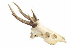 Antlers трофея. Стоковые Изображения RF