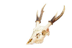 Antlers трофея. Стоковая Фотография RF