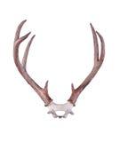 Antlers Черно-замкнутого оленя стоковые фото