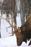 Antlers Royalty Free Stock Image
