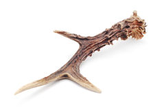 Antlers Stock Photography