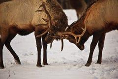 Antlers confinanti degli alci Fotografie Stock Libere da Diritti