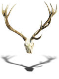 Antlers deer horns with skull isolated over white Royalty Free Stock Photos