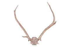 Antlers Royalty Free Stock Photography