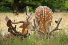Antlers of deer in london Royalty Free Stock Image