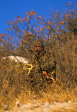 Antlers di crepitio di Bowhunter Immagine Stock