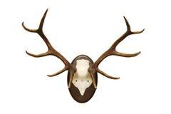 Antlers di un maschio Immagine Stock