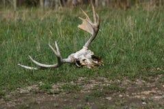 Antlers dos alces Fotografia de Stock Royalty Free
