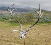 Antlers of a huge Deer Royalty Free Stock Image