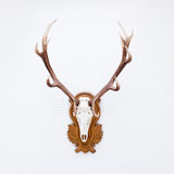 Antlers of a huge stag on white wall. Stock Image