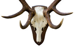 Antlers Stock Image