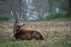 Deer resting royalty free stock photos