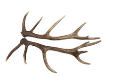 Antlers of a Red Deer Stag Isolated Stock Images