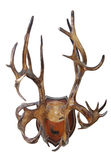 Antlers of a reindeer (Rangifer tarandus). Hunting trophy. Antlers of a reindeer (Rangifer tarandus), mounted on a wooden plate isolated on white background Royalty Free Stock Photos