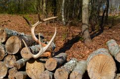 Antlers resting on a stack of firewood stock photos