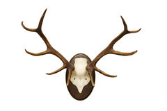 Antlers of a stag Stock Image