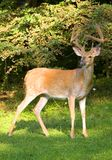 Antlers in velvet Royalty Free Stock Photo
