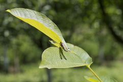 Antlion bug sitting on a walnut leaf Stock Photography