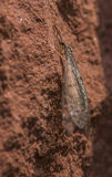 Antlion on stone wall Royalty Free Stock Photography