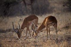 Antílope del impala en Kenia Fotografía de archivo