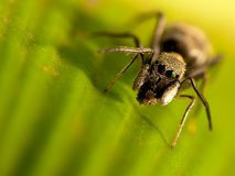 Antmimic jumping spider with nice background color Royalty Free Stock Photography
