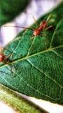 Antologia, mrówki na liściach Obraz Stock