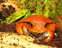 antongilii dyscophus青蛙蕃茄 库存照片