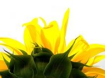 Antorcha del girasol Imagenes de archivo