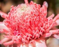 Antorcha Ginge Flower Imagen de archivo libre de regalías