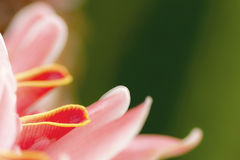 Antorcha Ginger Flower Fotografía de archivo