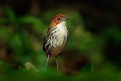 antpitta Castaña-coronado, ruficapilla de Grallaria, pájaro raro del bosque dar en Rio Blanco, Colombia Fotos de archivo libres de regalías