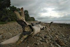 Antrieb-Holz auf felsigem Strand stockfoto