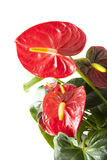 Antúrio vermelho Foto de Stock Royalty Free